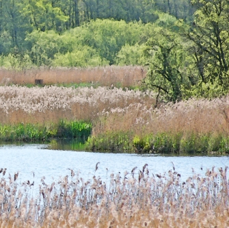 leighton moss reeds2