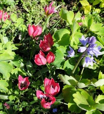 sm tulips
