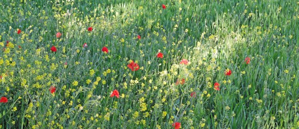 pansy field